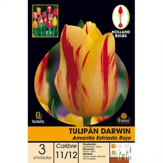 Bulbo Tulipán Darwin amarillo estriado rojo, 3ud