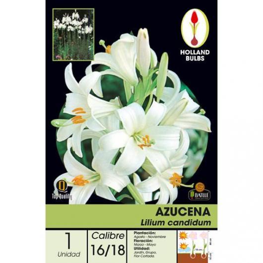 Bulbe lys Lilium candidum, 1 pièce