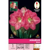 Bulbe amaryllis rose 1 pièce