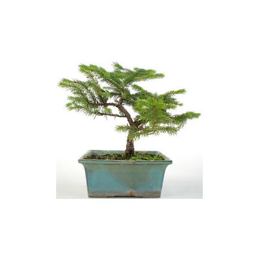 Picea sp. 16 años