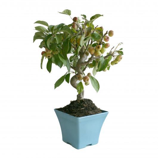 Pré-bonsaï Malus sp 6 ans