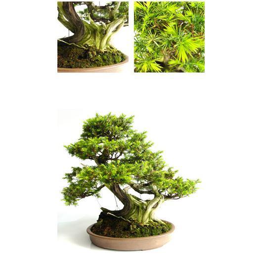 Juniperus rigida 16 anni
