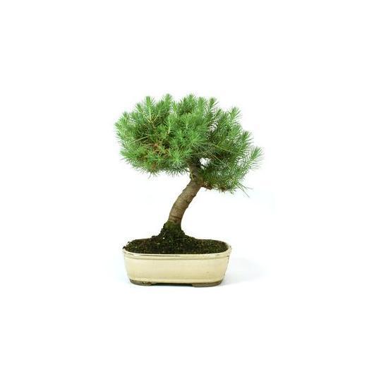 Pinus pinea 12 anni