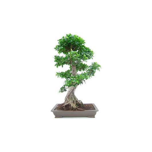 Ficus india 26 años