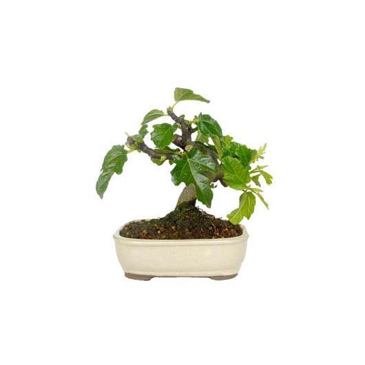 Ficus carica 6 años HIGUERA