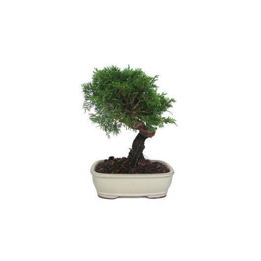 Juniperus chinensis SABINA (Genévrier sabine) 7 ans