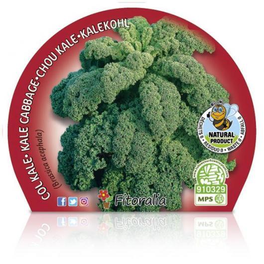 Plantón ecológico de Col Kale maceta 10,5 cm de diámetro