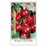 Cerezo 3-13 (Prunus avium)