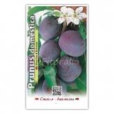 Ciruelo Angeleno (Prunus domestica)