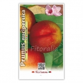 Nectarina Fantasia (Prunus nucipersica)