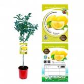 Limonero (Citrus limon)