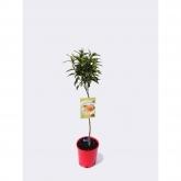 Mandarino (Citrus reticulata)
