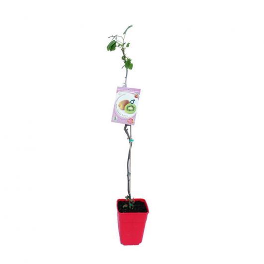Kiwi macho (Actinidia chinensis)