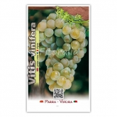 Parra Moscatell (Vitis vinifera)