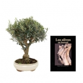 Pack speciale pbonsai Olivo 18 anni