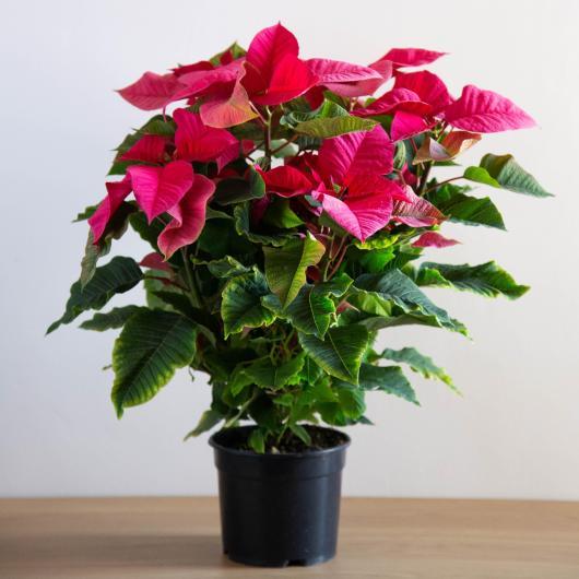 Ponsetia Flor de Pascua Rosa maceta