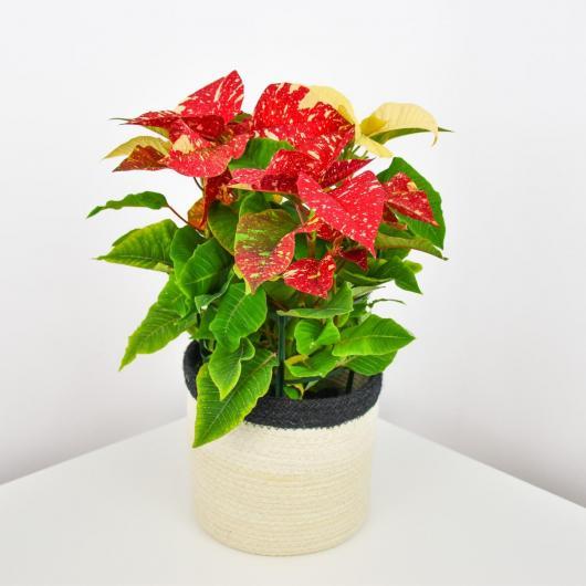 Ponsetia Flor de Pascua Jaspeada Roja/Verde maceta 14 cm de diámetro