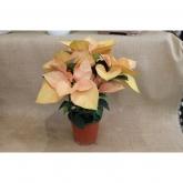 Ponsetia Flor de Pascua Salmón maceta 14 cm de diámetro