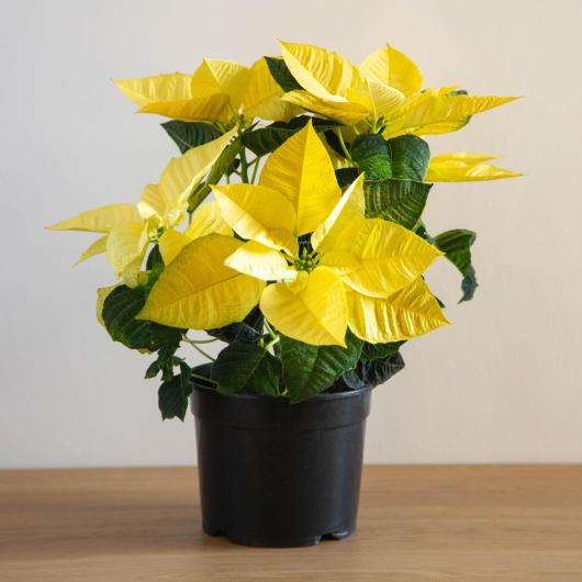 Ponsetia Flor de Pascua Blanca maceta