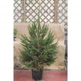 Arbol de navidad Picea 75-100 cm