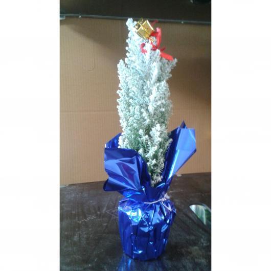Ciprés nevado bolsa azul maceta 9 cm de diámetro