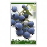 Arándano (Vaccinium corymbosum)
