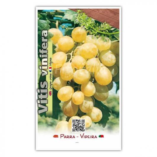 Parra Blanca sin pepita (Vitis vinifera)