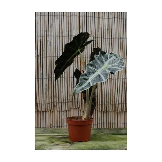 Alocasia Polly 'Orejas de Elefante'