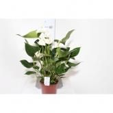Anthurium/Anturio con Flores Blancas (Anthurium )