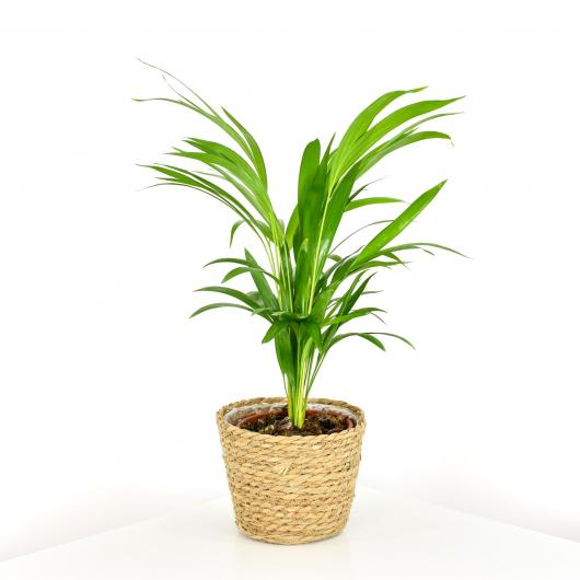Areca (Dypsis lutescens)