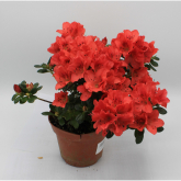 Azalea con Flor Roja (Rhododendron)