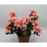 Azalea con Flor Rosa (Rhododendron)
