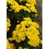 Begonia Elatior con Flor Amarilla