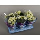 Begonia Elatior con Flor Blanca
