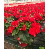 Begonia Elatior con Flor Roja