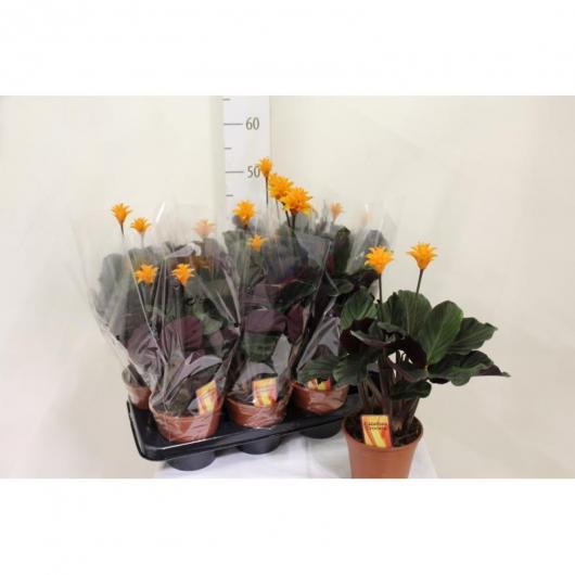Calathea Crocata de 3-4 flores