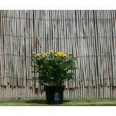 Crisantemo Flor Amarilla (Chrysanthemum)