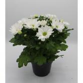 Crisantemo Flor Blanca (Chrysanthemum)