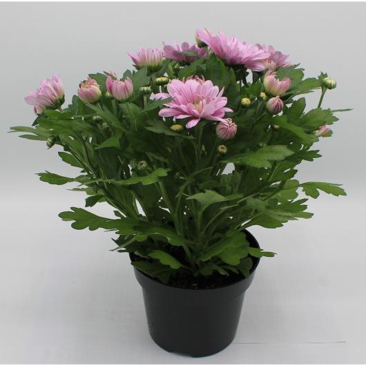 Crisantemo Flor Rosa (Chrysanthemum)
