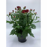 Crisantemo Flor Roja (Chrysanthemum)