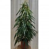 Ficus Ali (Ficus Alii)