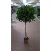 Ficus Marisma
