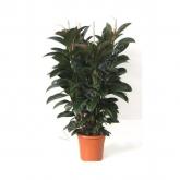 Ficus Melani de 3 cañas