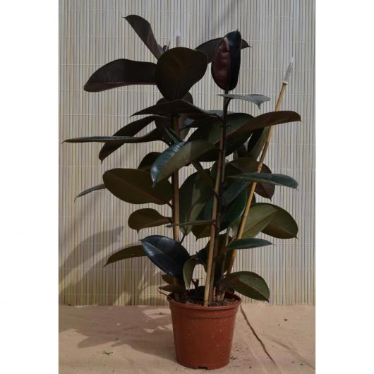 Ficus Robusta de 3 cañas