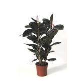 Ficus Robusta Abidjan de 3 cañas