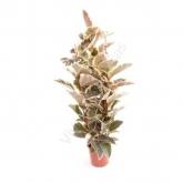 Ficus Tineke de 3 cañas