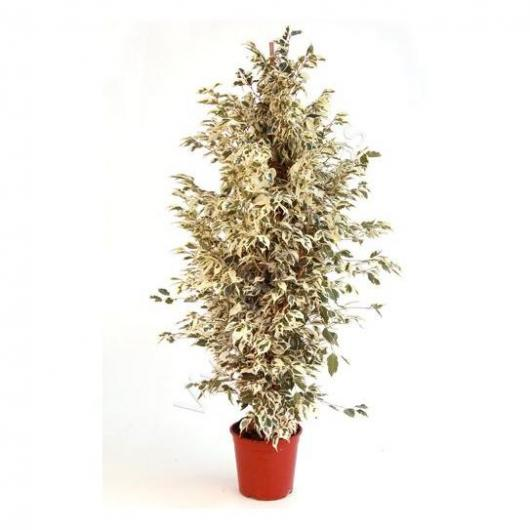 Ficus Twilight