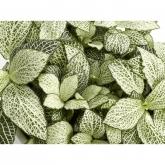 Fittonia -verde/blanca-