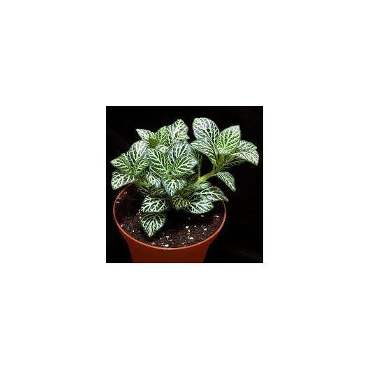 Fittonia -blanca/verde-