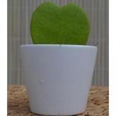 Cactus Hoya Kerrii - Flor de cera